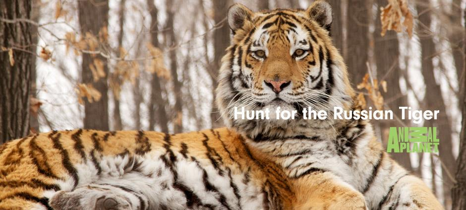 Hunt for the Russian Tiger