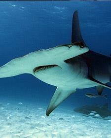 Köpekbalığı Festivali